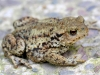 common_toad_bufo_bufo