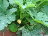 courgette_vegetable