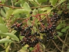 elder_berries